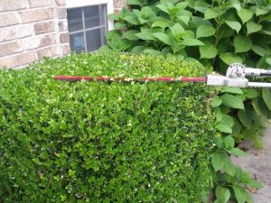shrub trimming