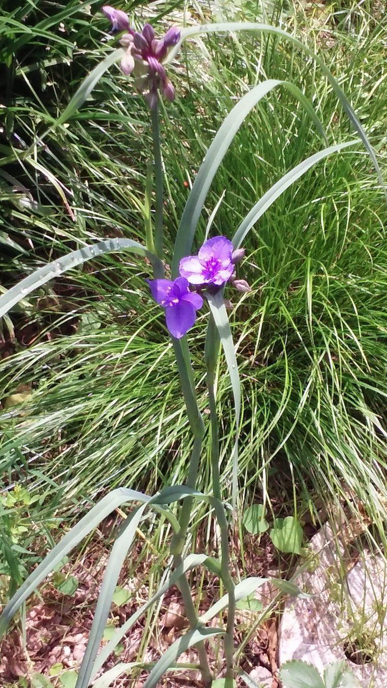 purple spiderwort flower