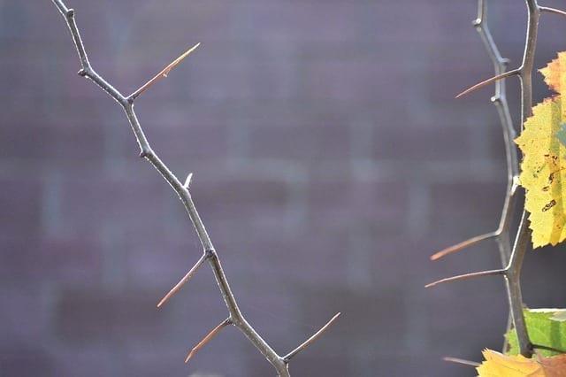 Hawthorn bark