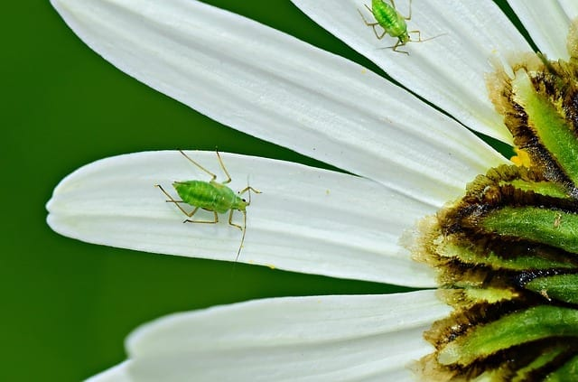 aphids control and prevention