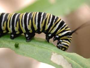 caterpillar-monarch, native pollinators