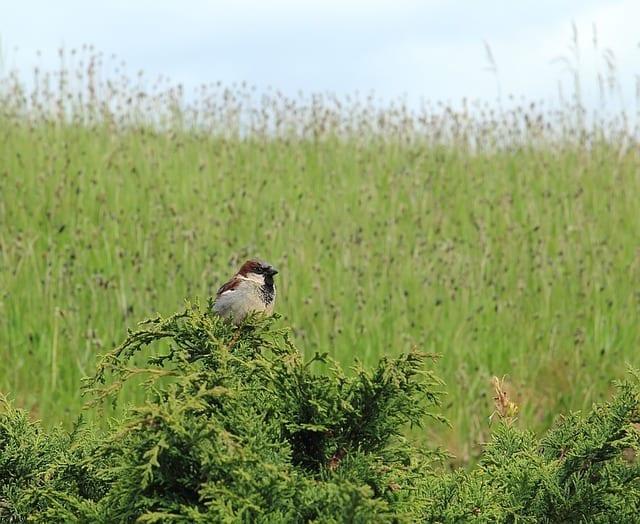 chickadee, native habitats