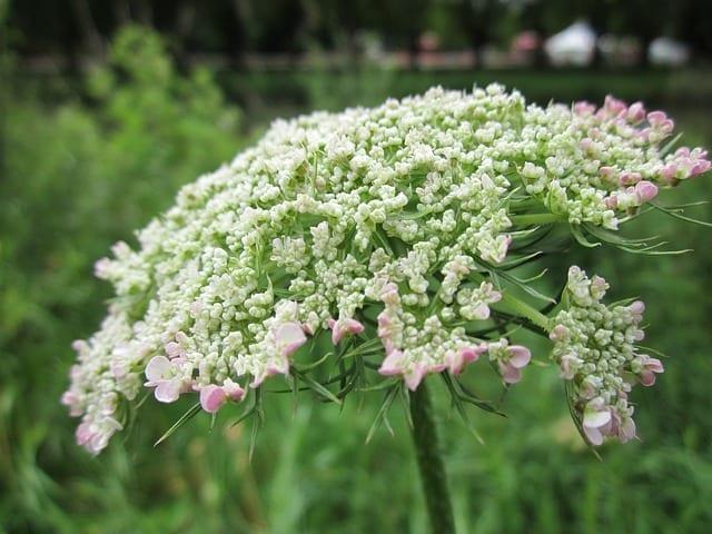 daucus-carota, plant Queen Anne's Lace