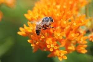 honey bee on butterfly milkweed, native plants