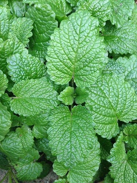 mint companion garden
