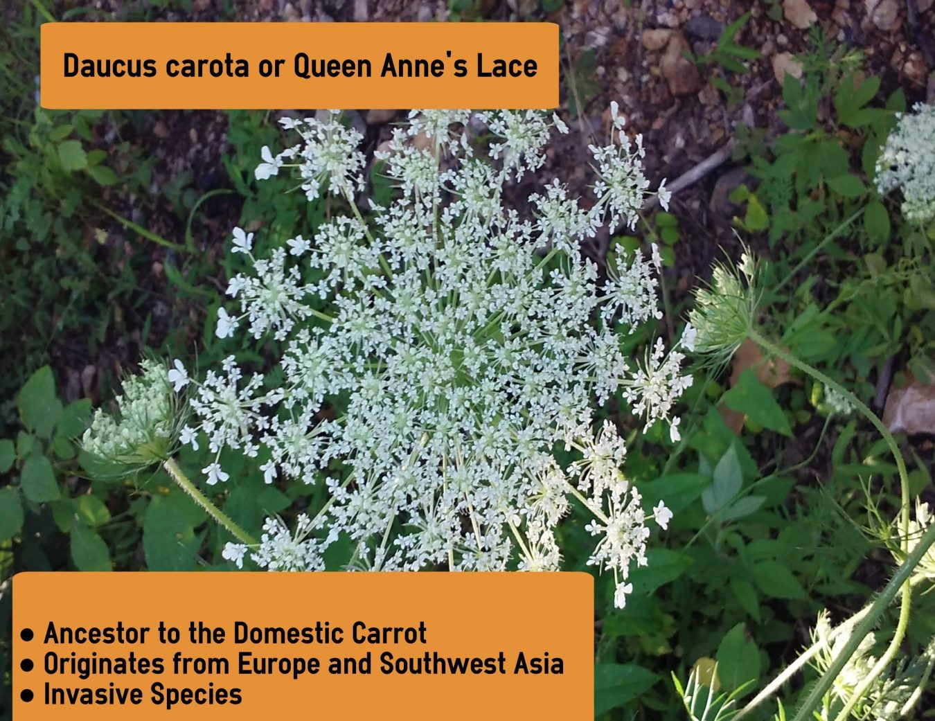 queen Anne's Lace infographic