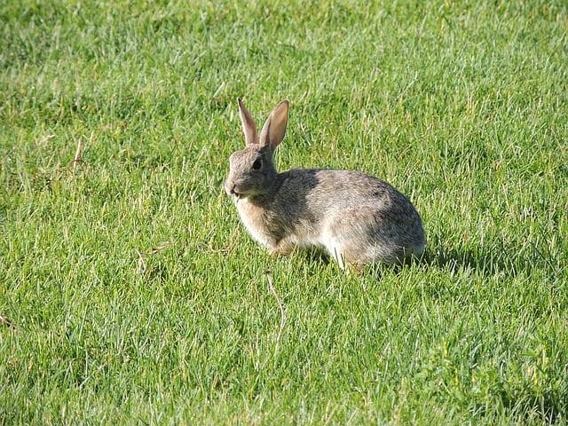 wild rabbit, native habitats